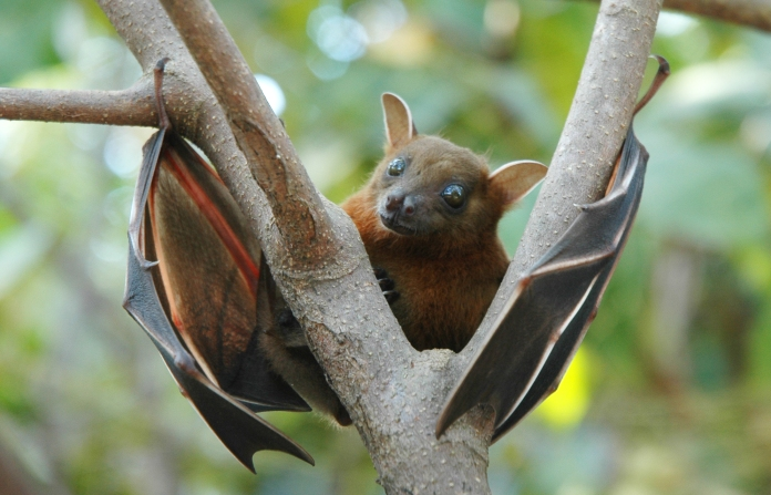 The Short Nosed Fruit Bat